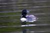 Loon on lake Palmerston