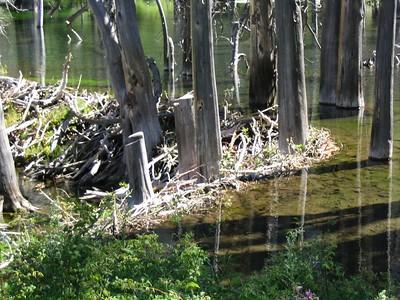 Hardcore beaver dam