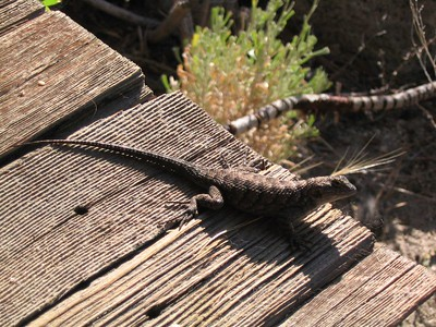 Lizard on the porch