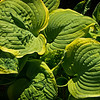 "Hosta Leaves...<br /> <br /> Hostas are widely cultivated, being particularly useful in the garden as shade-tolerant plants whose striking foliage provides a focal point. <a href=""http://en.wikipedia.org/wiki/Hosta"">http://en.wikipedia.org/wiki/Hosta</a><br /> <br /> Thank you for your comments!<br /> <br /> Critiques welcome...<br /> <br /> 17 May 2014"