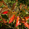"A few colorful leaves...<br /> <br /> Interstate 5<br /> Manzanita Rest Area, Oregon<br /> <br /> Thanks to Judy Horton,  <a href=""http://fotoeffects.smugmug.com/"">http://fotoeffects.smugmug.com/</a>) for identifying this as Oregon Grape Holly...<br /> <br /> Thanks for your comments and views, much appreciated!<br /> <br /> Critiques welcome...<br /> <br /> 16 May 2014"