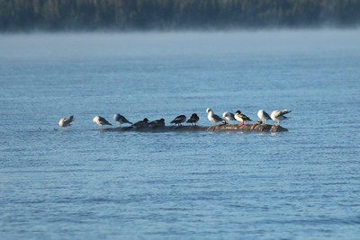 Red-breasted Mergansers and California Gulls on Diamond Lake