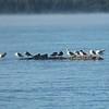 Red-breasted Mergansers and California Gulls on Diamond Lake