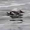 Pigeon Guillemot @ Boiler Bay SSW