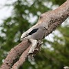Clark's Nutcracker @ Crater Lake NP