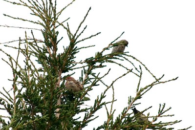 Cassin's Finch (Pair) @ Crater Lake NP