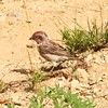 Purple Finch (Male) @ Crater Lake NP