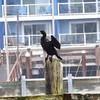 Double-crested Cormorant @ Mark Hatfield MSC&ET
