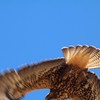 Red-tailed Hawk @ White River Falls SP