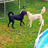These guys were fun to watch play with each other. They make great use of a neat backyard!