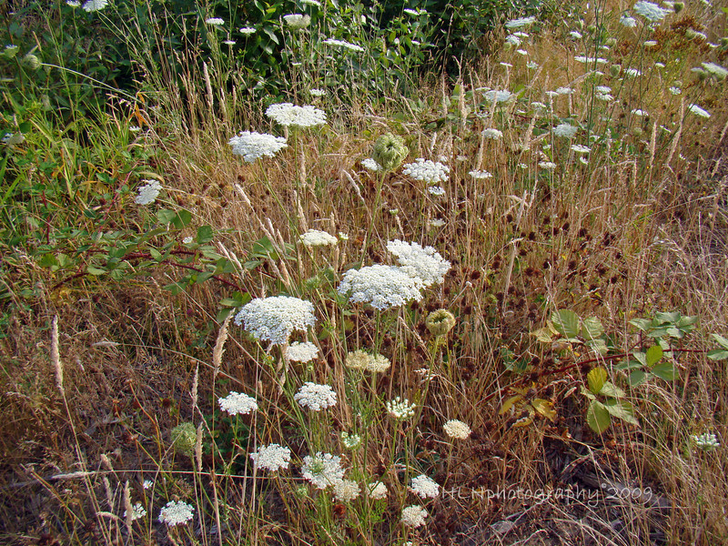 More Queen Anne's lace wildflowers...
