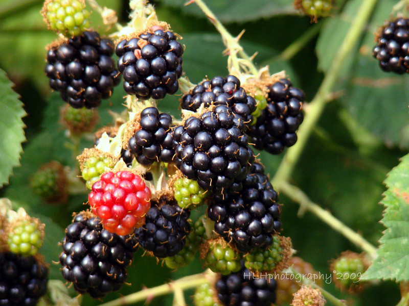 """Scene from Maggie and Clyde's """"backyard."""" I love to pick these and eat them right off the vine, dirt and all! Wild blackberries are everywhere! They obviously are very invasive but they sure are great for visitors from southern California. You can't beat the price, either!"""