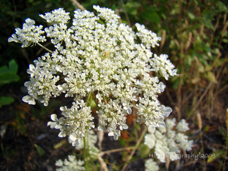 Queen Anne's lace wildflower up close...