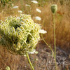 Queen Anne's lace wildflower going to seed. This would explain why they are everywhere!