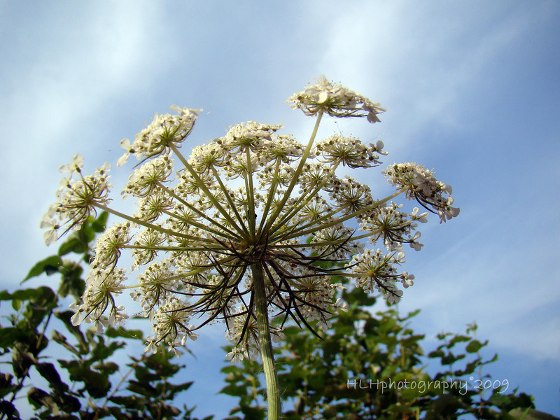 Queen Anne's lace wildflower from below...