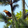 Black-Headed Grosbeak, as seen from Maggie and Clydes' deck...