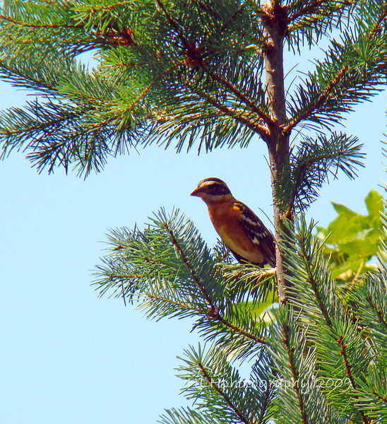 Scene from Maggie and Clyde's deck...Black-Headed Grosbeak