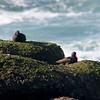 Black Oystercatchers @ Boiler Bay