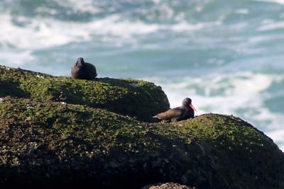 Black Oystercatchers @ Boiler Bay SSW