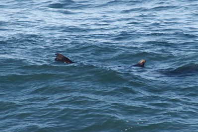 California Sea Lion @ Pirate Cove
