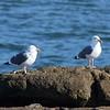 Western Gulls @ Boiler Bay