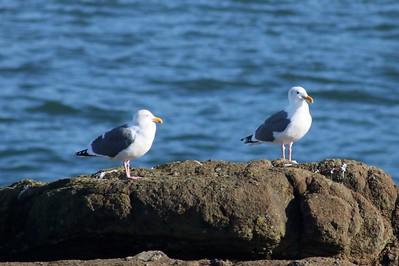 Western Gulls @ Boiler Bay SSW