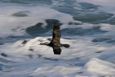 Pelagic Cormorant @ Pirate Cove