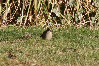 Golden-crowned Sparrow @ Inn at Arch Rock
