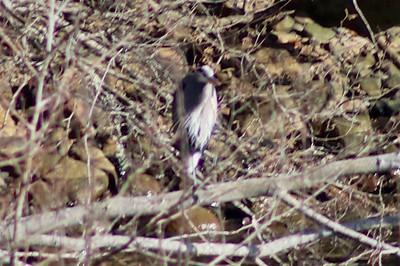 Great Blue Heron @ Depoe Bay Harbor