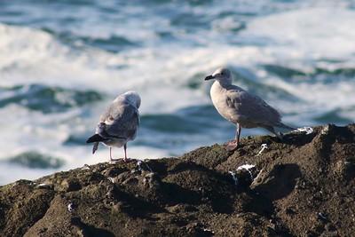 Glaucous Gulls @ Boiler Bay SSW