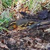 Varied Thrush @ Depoe Bay City Park