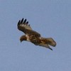 Red-tailed Hawk @ Broughton Beach