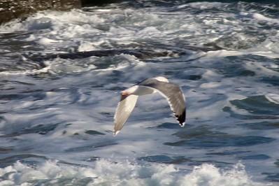Western Gull @ Pirate Cove
