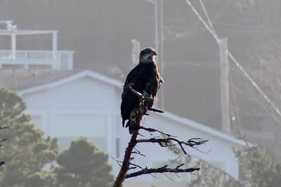 Bald Eagle @ Inn at Arch Rock