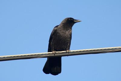 American Crow @ Inn at Arch Rock