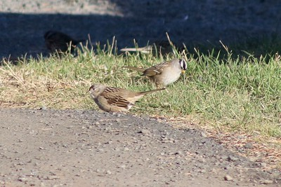 Golden-crowned Sparrow & White-crowned Sparrow @ Inn at Arch Rock