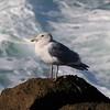 California Gull @ Boiler Bay