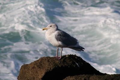 California Gull @ Boiler Bay SSW