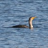 Double-crested Cormorant @ Salishan Spit