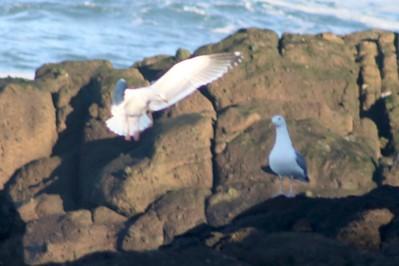 Gulls @ Pirate Cove