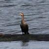 Double-crested Cormorant @ Broughton Beach