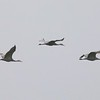 Sandhill Cranes @ Vancouver Lake Lowlands