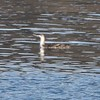 Red-throated Loon @ Salishan Spit