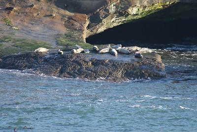 Harbor Seals @ Pirate Cove