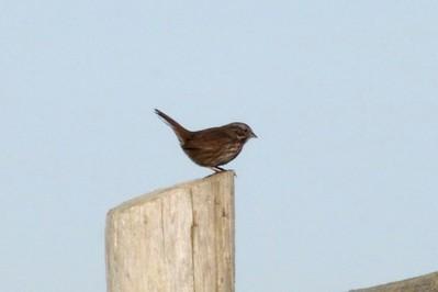 Song Sparrow @ Boiler Bay SSW