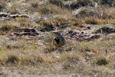 Western Meadowlark @ Boiler Bay SSW