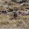 Western Meadowlark @ Boiler Bay