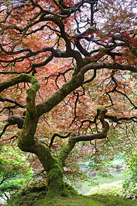 "This is ""The Tree."" Portland Japanese Garden"