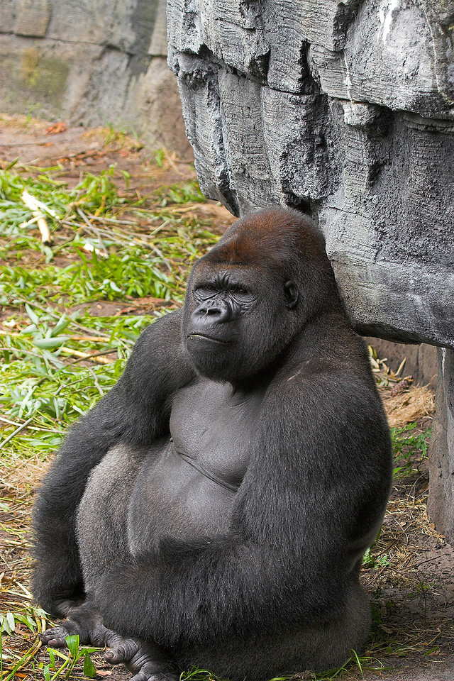 Taking shelter like a wise Buddha'esque Gorilla would do.
