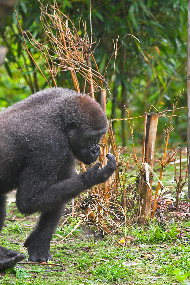 Gorilla meets hand. You can see the rain in the background.